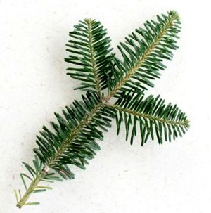 Image result for canaan fir branch